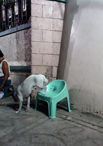 Manilos šunys